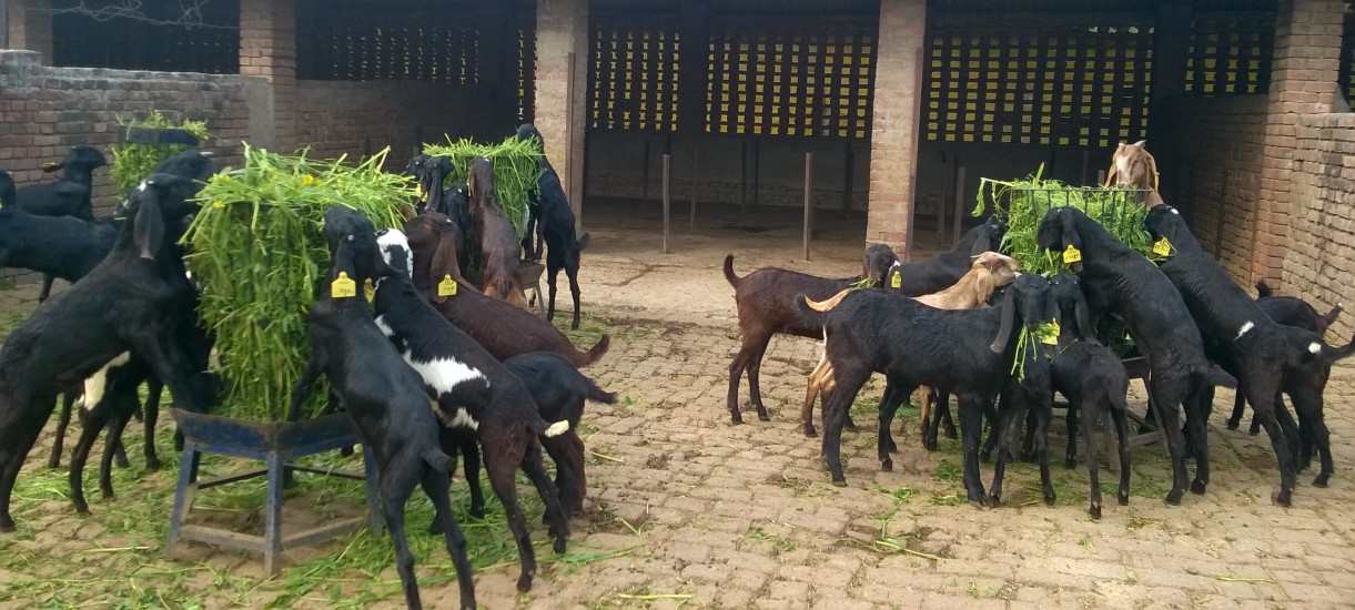 Feeding of goats in Stall-fed system
