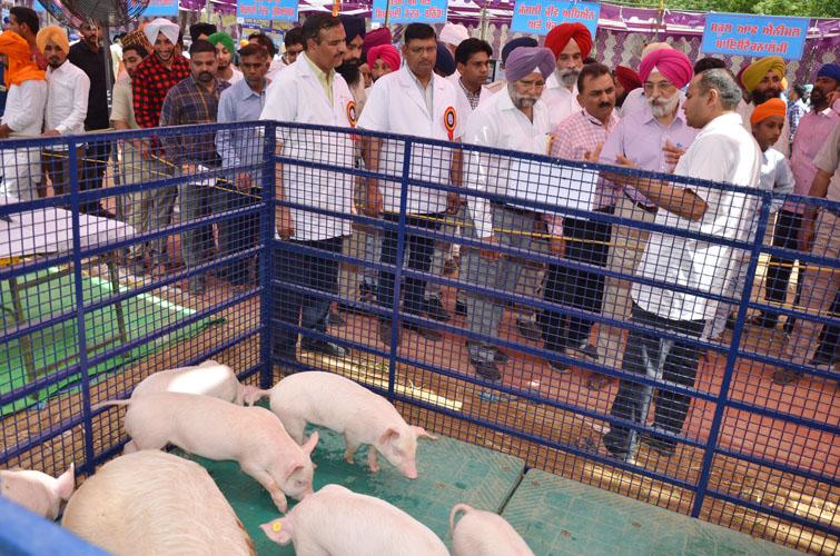 Image result for pig farm punjab